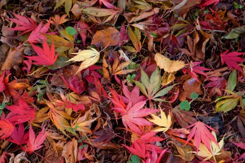 かえでの葉「Fallen maple (Acer) leaves in autumn」:スマホ壁紙(15)