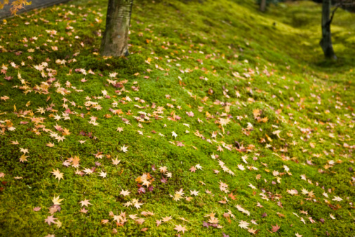 かえでの葉「Fallen maple leaves on moss」:スマホ壁紙(0)