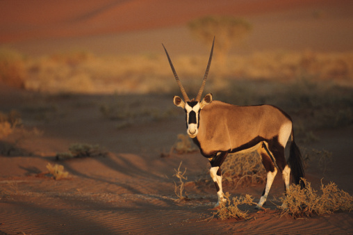 Namib-Naukluft National Park「Gemsbok (Oryx gazella) on plain at dawn」:スマホ壁紙(18)