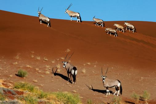 Gemsbok「Gemsbok (Oryx) on a sand dune」:スマホ壁紙(11)