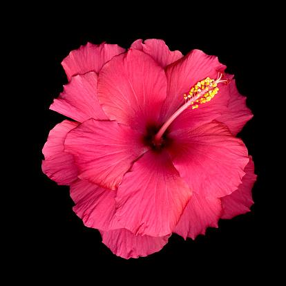 Stamen「Pink hibiscus flower (Hibiscus sp.), close-up」:スマホ壁紙(18)