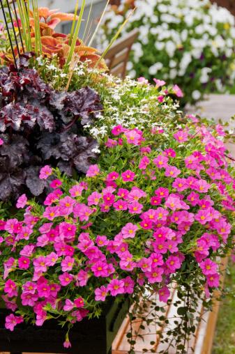 ペチュニア「鍋のカラフルな花の裏庭」:スマホ壁紙(16)