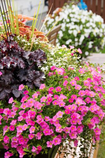 ペチュニア「鍋のカラフルな花の裏庭」:スマホ壁紙(0)