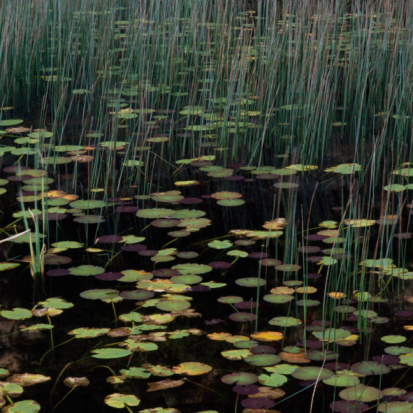 Water Lily「Leaves of water lilies and reed in dark water」:スマホ壁紙(6)