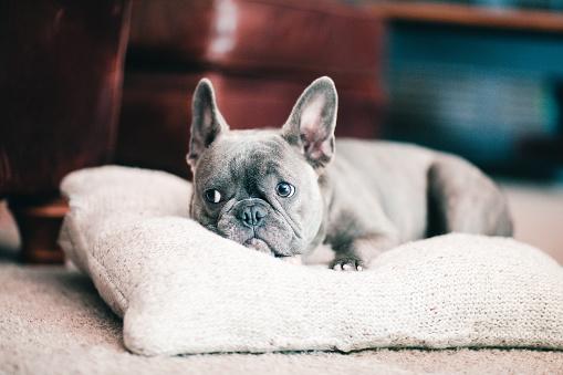 Looking Away「pet dog lying on pillow」:スマホ壁紙(2)
