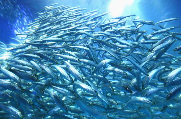 Fish「50000 Sardines Swimming New Tank Launched At Aquarium In Yokohama」:写真・画像(1)[壁紙.com]
