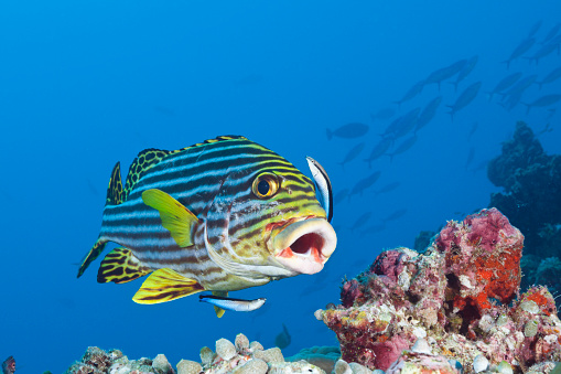 South Male Atoll「Oriental Sweetlips cleaned by Cleaner Wrasse, Maldives」:スマホ壁紙(2)