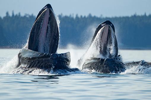 Humpback Whale「Feeding Humpback Whales, Alaska」:スマホ壁紙(14)