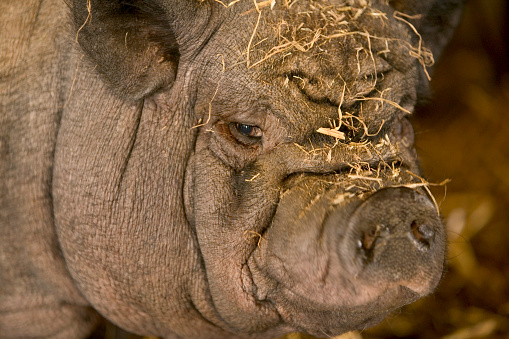 Frowning「Face of Vietnamese Pot Bellied Pig in England」:スマホ壁紙(6)
