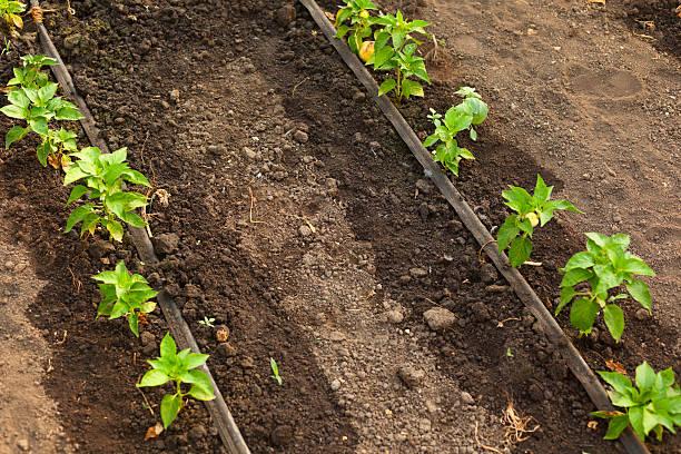 Pepper growing in greenhouse.:スマホ壁紙(壁紙.com)