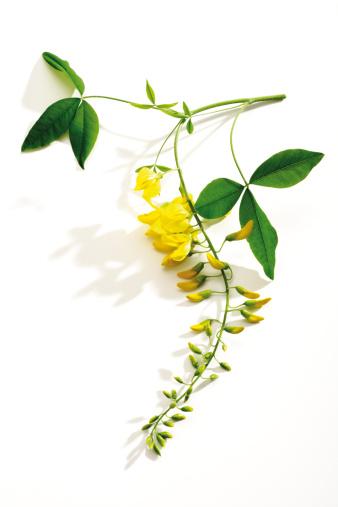 Plant Stem「Laburnum, close-up」:スマホ壁紙(4)
