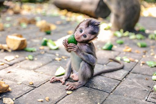 Eating「Cute baby monkey eating vegetable」:スマホ壁紙(9)