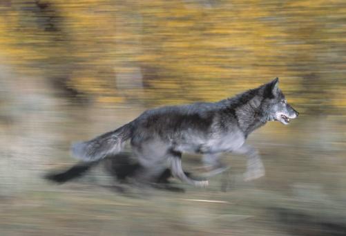 Animals Hunting「A black wolf on the run」:スマホ壁紙(5)