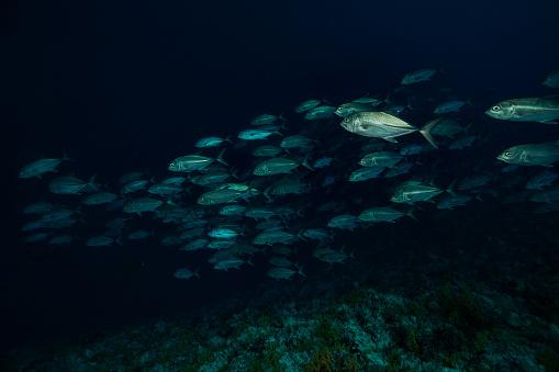 Soft Coral「School of Bigeye Trevally Caranx sexfasciatus, South-East Peleliu Island, Palau, Micronesia」:スマホ壁紙(7)