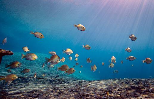Sea Bream「A school of Bluegill and Sunfish swim toward the light from above.」:スマホ壁紙(1)