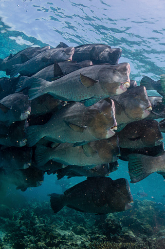 Green Turtle「School of bumphead parrotfish, Sipadan, Malaysia.」:スマホ壁紙(11)