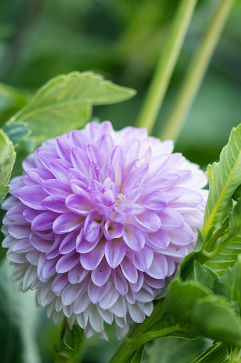 flower「Dahlia 'Midnight Moon' Flower Close-up」:スマホ壁紙(3)