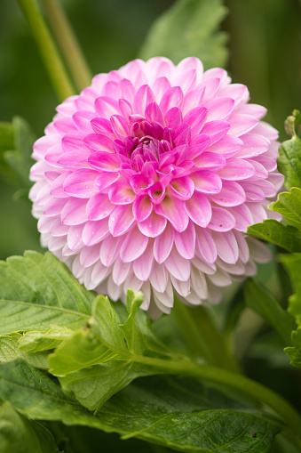 flower「Dahlia 'Midnight Moon' Flower Close-up」:スマホ壁紙(0)