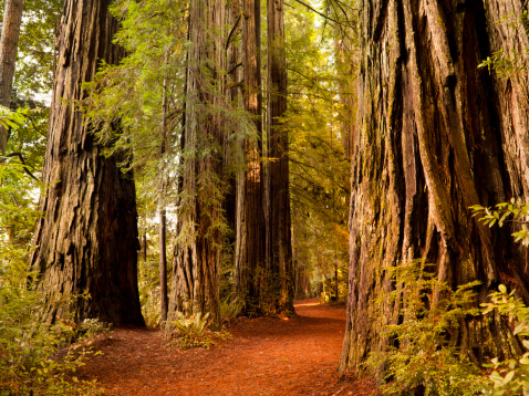 Humboldt Redwoods State Park「Redwood trail through trees in the forest」:スマホ壁紙(1)