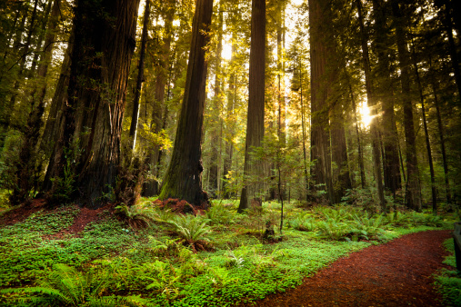 Humboldt Redwoods State Park「Redwood trail through trees in the forest」:スマホ壁紙(0)