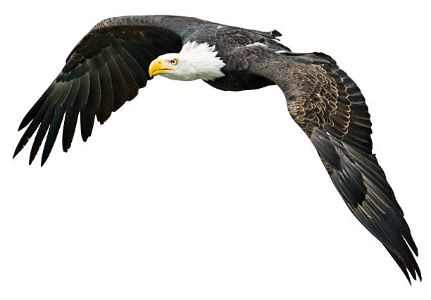 Flying Eagle with clipping path on white background:スマホ壁紙(壁紙.com)