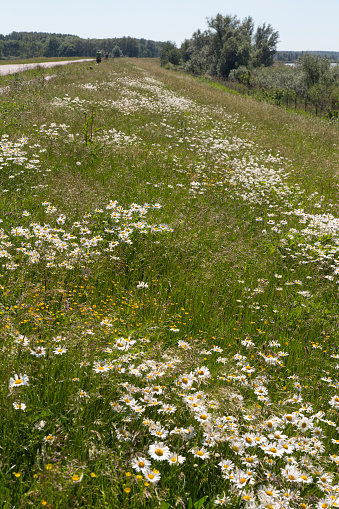 Photography「Slope of dike with Ox-eye Daisies」:スマホ壁紙(19)
