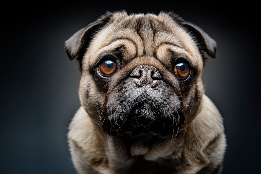 Headshot「Grumpy Pug With a Very Sad Face」:スマホ壁紙(12)