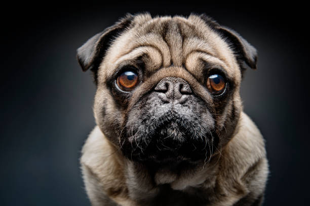Grumpy Pug With a Very Sad Face:スマホ壁紙(壁紙.com)
