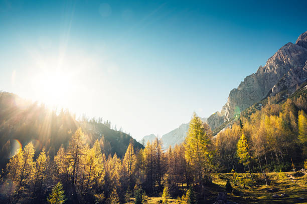 Golden Larch Trees:スマホ壁紙(壁紙.com)