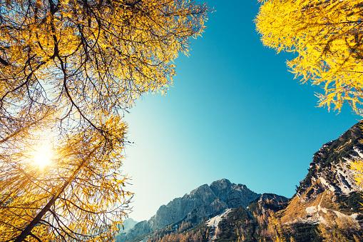 落葉樹「黄金のカラマツ山」:スマホ壁紙(19)