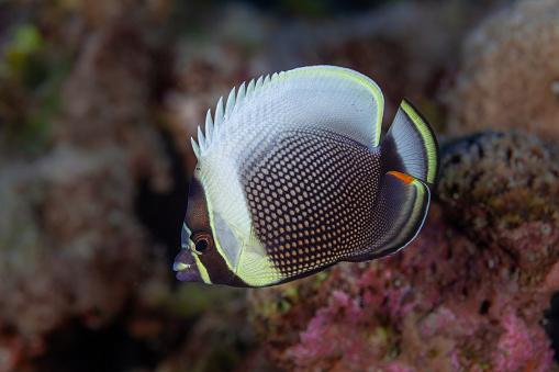 Butterflyfish「Tropical Fish」:スマホ壁紙(10)