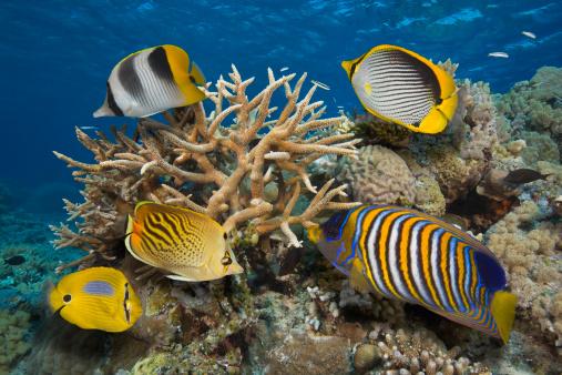 Butterflyfish「Tropical Fish on Great Barrier Reef, Australia」:スマホ壁紙(9)