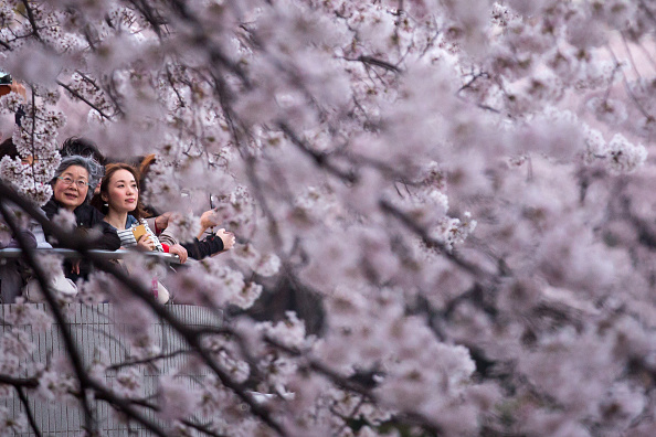 Cherry Blossom「People Enjoy Cherry Blossom In Japan」:写真・画像(0)[壁紙.com]