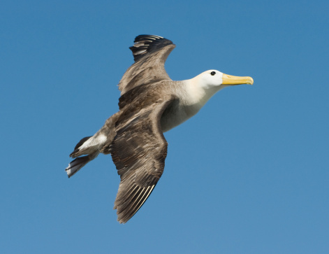 Albatross「Waved Albatross in the Galapagos」:スマホ壁紙(7)