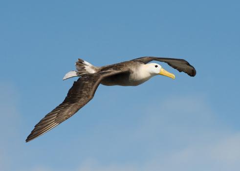 Albatross「Waved Albatross in the Galapagos」:スマホ壁紙(3)