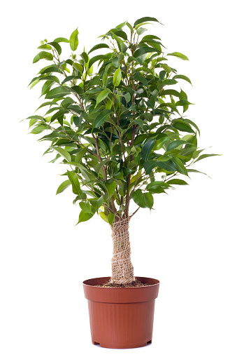 Houseplant「A small ficus tree planted in a brown clay pot」:スマホ壁紙(15)