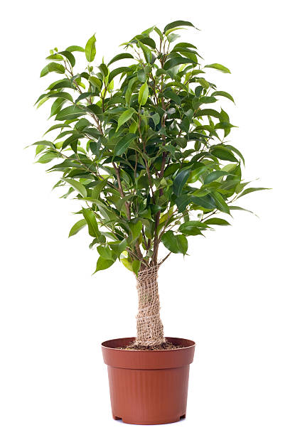 A small ficus tree planted in a brown clay pot:スマホ壁紙(壁紙.com)