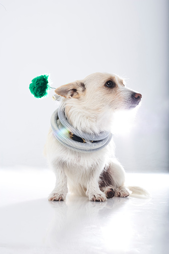 Hose「Dog dressed up with tube wrapped around his neck」:スマホ壁紙(9)