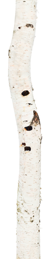 Log「Curved birch trunk」:スマホ壁紙(14)