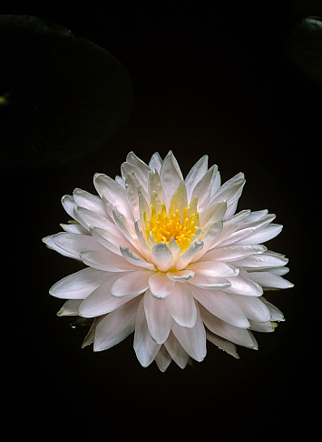 Water Lily「Nymphaea 'Gloire du Temple-sur-Lot' (water lily)」:スマホ壁紙(9)