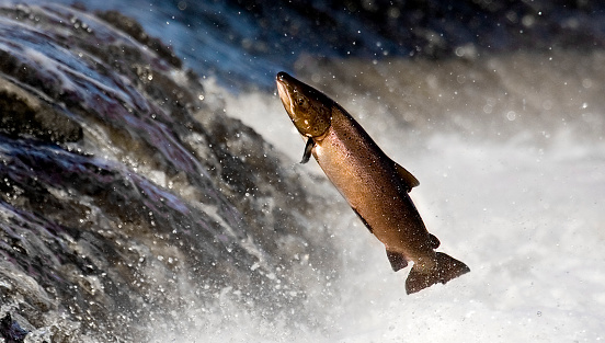 Salmon - Animal「Salmon leaping rapids」:スマホ壁紙(10)