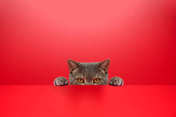 Big-eyed naughty obese cat looking at the target. British sort hair cat.Red background:スマホ壁紙(壁紙.com)