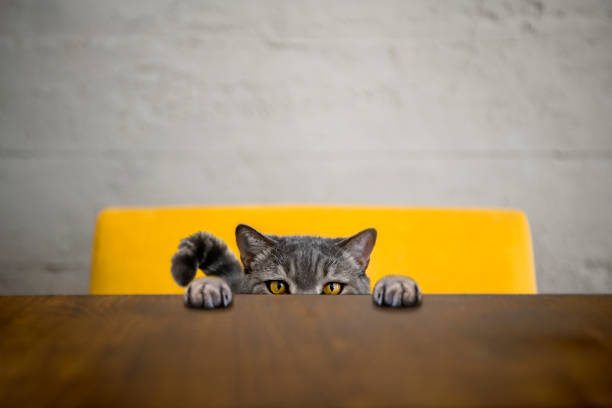 Big-eyed naughty obese cat looking at the target. British sort hair cat:スマホ壁紙(壁紙.com)