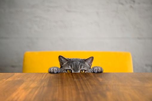 LOVE「Big-eyed naughty obese cat looking at the target. British sort hair cat.」:スマホ壁紙(4)