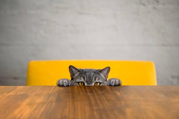 Big-eyed naughty obese cat looking at the target. British sort hair cat.:スマホ壁紙(壁紙.com)