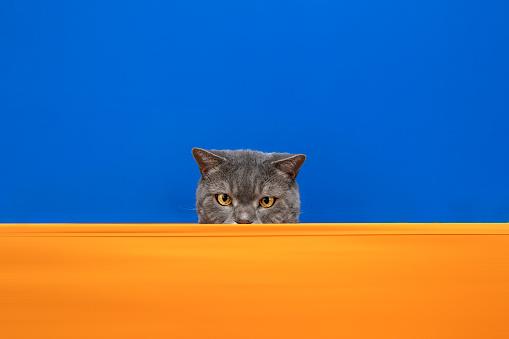 Animal Ear「Big-eyed naughty obese cat looking at the target. British sort hair cat」:スマホ壁紙(1)
