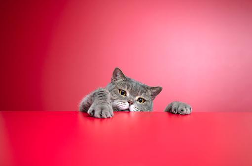 Cat「Big-eyed naughty obese cat looking at the target. British sort hair cat」:スマホ壁紙(19)