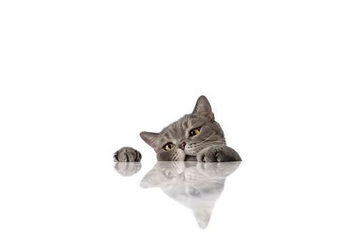 Animal Ear「Big-eyed naughty obese cat looking at the target.」:スマホ壁紙(18)