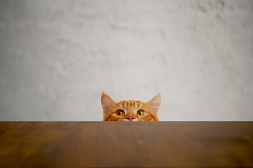 Animal Head「Big-eyed naughty cat looking at the target. British sort hair cat.」:スマホ壁紙(18)