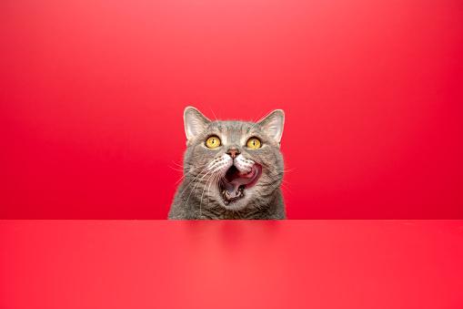 Playing「Big-eyed naughty obese cat is licking. British sort hair cat」:スマホ壁紙(2)